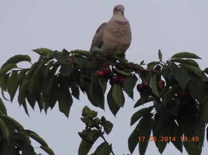 FOTKA - Hrdlička na větvičce třešně