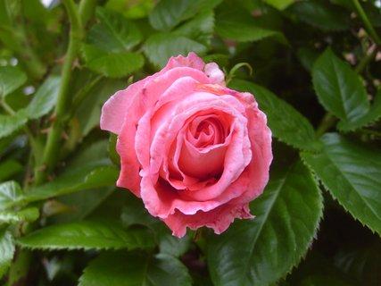 FOTKA - růžová růže