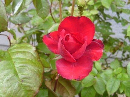 FOTKA - růže u našeho domu