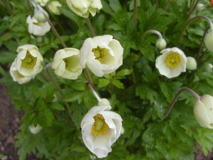 FOTKA - zahradní sasanky po dešti