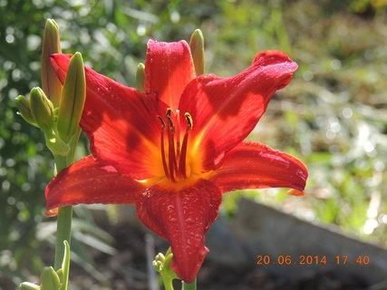 FOTKA - Poslední jarní den - denivka červená