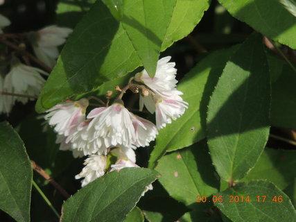 FOTKA - Poslední jarní den - květ jasmínu
