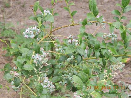 FOTKA - Obalená, zatím zelená borůvka