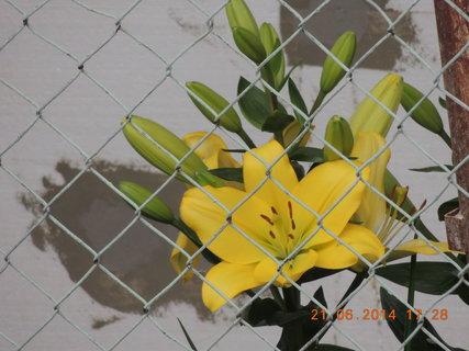 FOTKA - Sousedčina lilie - žlutá