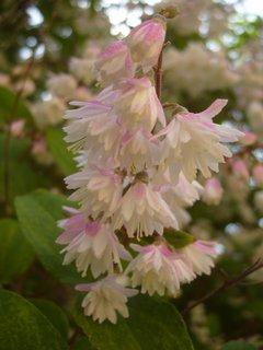 FOTKA - Detail květů ozdobného keře