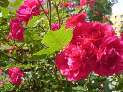 FOTKA - růže na sídlišti