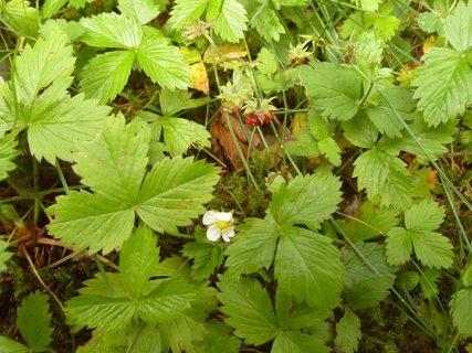 FOTKA - lesní jahody