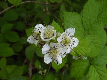 FOTKA - hmyzáčci na květu ostružiny  -  les