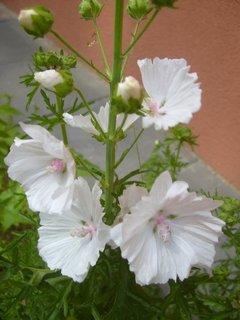 FOTKA - slezová růže