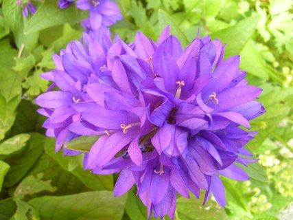 FOTKA - fialové zvonečky
