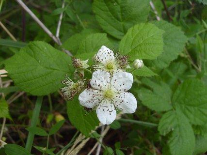 FOTKA - lesní kvetoucí ostružina