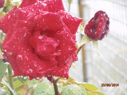 FOTKA - Růže v záplavě kapek deště 25.6. 2014