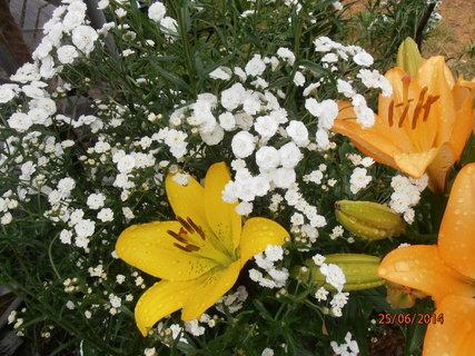 FOTKA - Žlutá má jen jeden květ 25.6. 2014