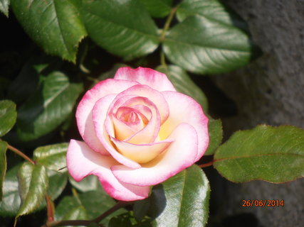 FOTKA - Růžička s růžovým krajem 26.6. 2014