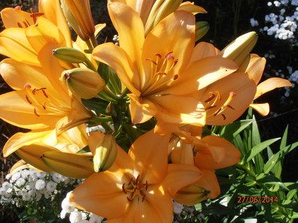 FOTKA - Stále kvetu a mám stále víc květů 27.6. 2014