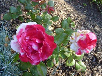 FOTKA - žíhané růže