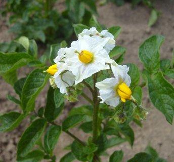 FOTKA - Karel IV. tyhle květy nikdy neviděl