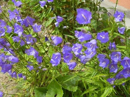 FOTKA - modré zvonky