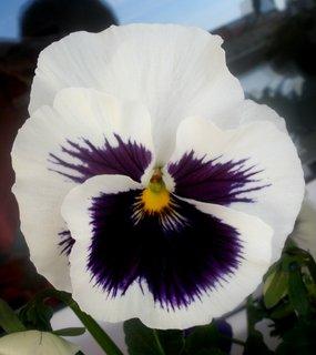FOTKA - Bílá s fialovou