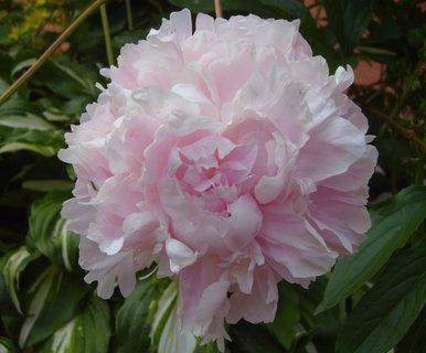 FOTKA - letos krásně kvetly