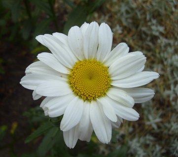 FOTKA - zahradní kopretina  -  detail květu