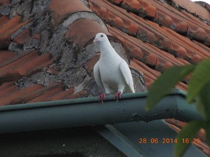 FOTKA - Bílý holub na sousedovic střeše
