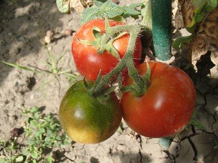 FOTKA - paradajky sa už začínajú červeňať