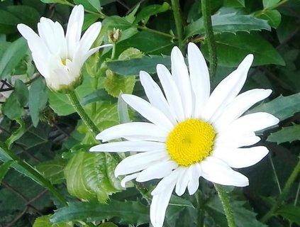 FOTKA - Kopretiny, bílá krása ..