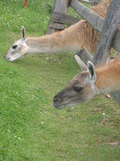 FOTKA - zvědavé lamy