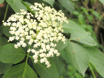 FOTKA - Květ černého bezu