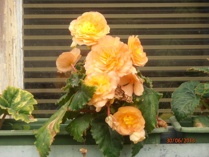 FOTKA - Žluto-oranžová begonka na okně 30.6.