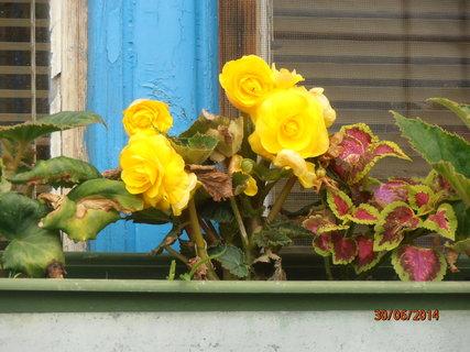 FOTKA - Žlutá begonka na okně 30.6.