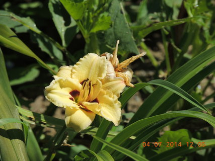 FOTKA - Žlutá denivka s tmavým středem 4.7. 2014