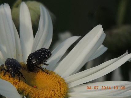 FOTKA - Večerní rande na kopretině 4.7. 2014