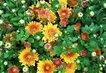 Chryzantémy na trhu.