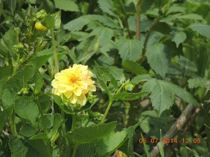 FOTKA - Žlutá jiřinka 5.7. 2014