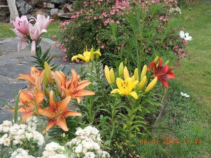 FOTKA - Lilie v plném květu  8.7. 2014