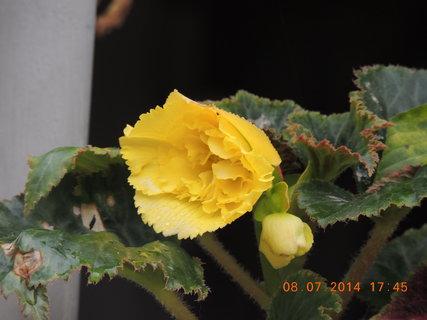 FOTKA - Žlutá begonka 8.7. 2014