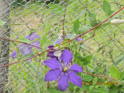 FOTKA - Květ clematisu na pletivu 9.7. 2014