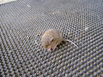 FOTKA - Myší mládě na rohožce