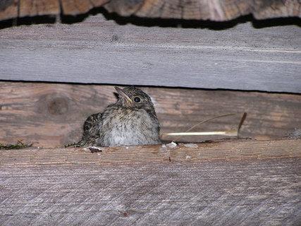 FOTKA - Mládě drozda na hnízdě