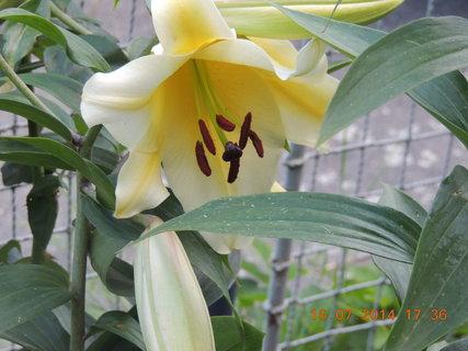 FOTKA - Velký květ lilie 16.7. 2014