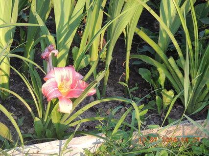 FOTKA - Velký květ na malinké rostlince - denivka- 17.7. 2014