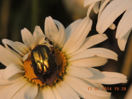 FOTKA - Brouček na kopretině 17.7. 2014