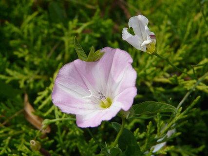 FOTKA - kvetouci plevel