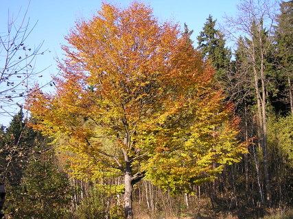 FOTKA - Buk na podzim