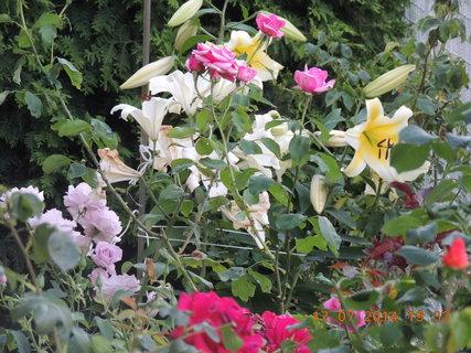 FOTKA - Lilie a růže 17.7. 2014