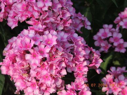 FOTKA - Růžovo- bílé Floxy 18.7.2014