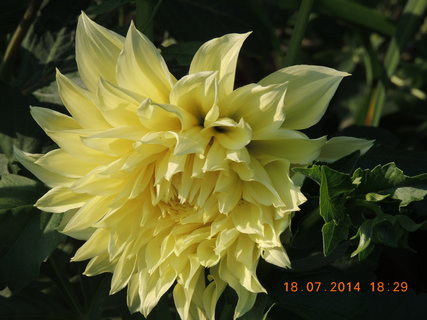 FOTKA - Žlutý květ Jiřinky 18.7. 2014