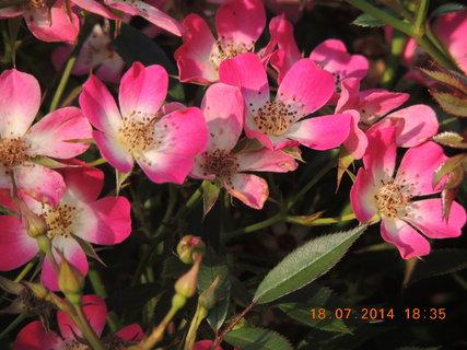 FOTKA - Drobnokvětá růže Sára 18.7.2014